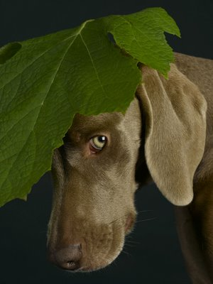 william wegman6